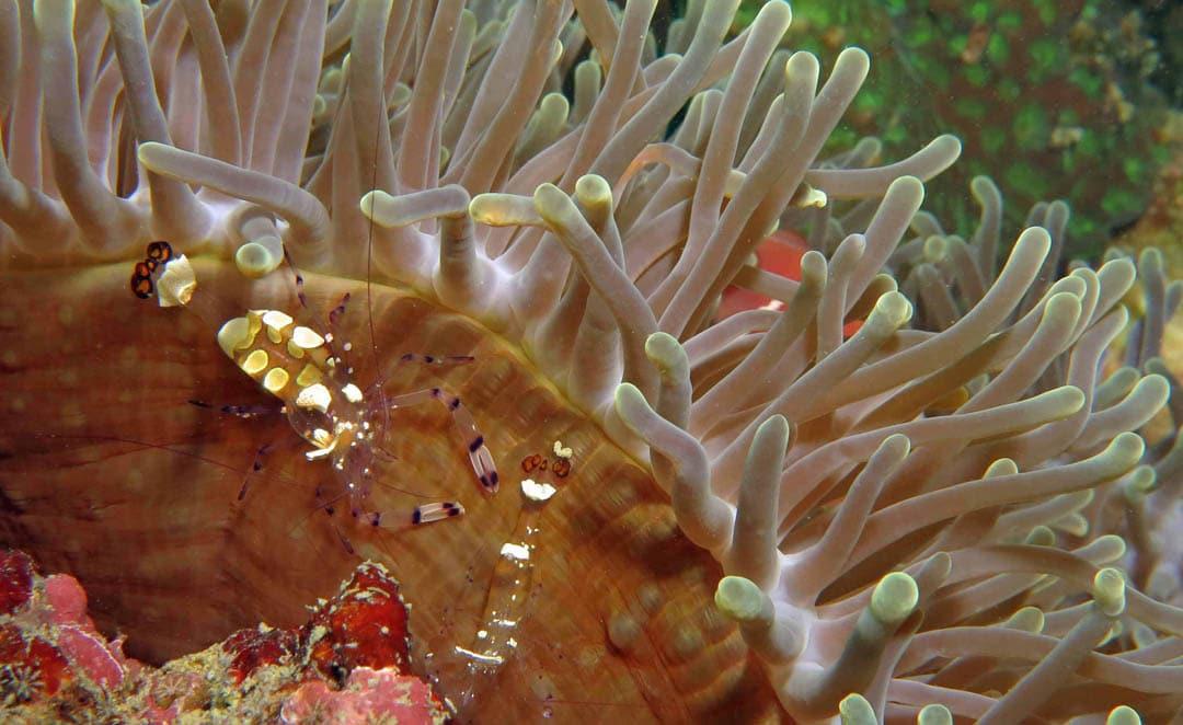idckohtao.com-padi-digital-underwater-photography-instructor-specialty-anemone