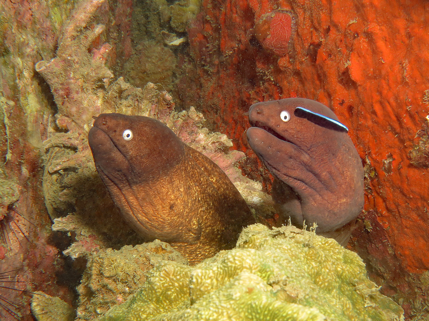 idckohtao.com-padi-digital-underwater-photography-instructor-specialty-moray-eels
