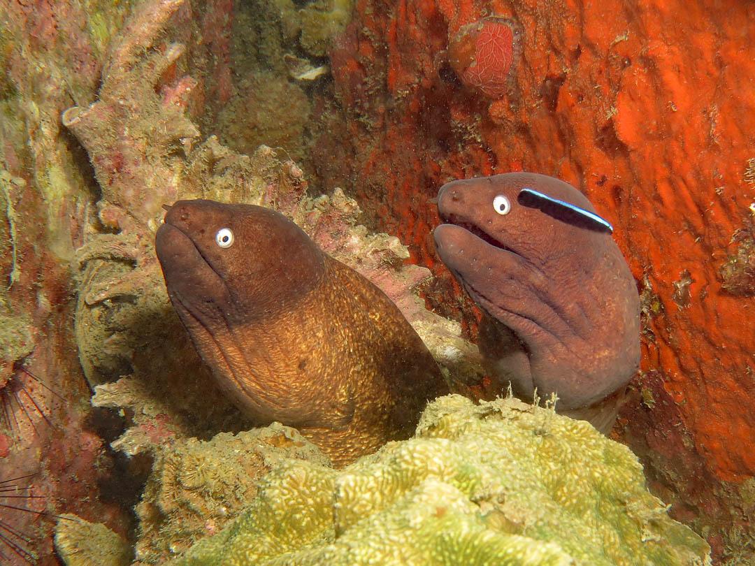 idckohtao.com-padi-digital-underwater-photography-instructor-specialty-moray-eels