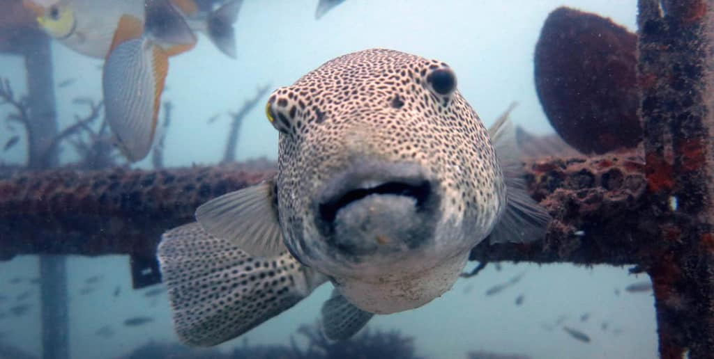 idckohtao.com-padi-digital-underwater-photography-instructor-specialty-puffer-fish