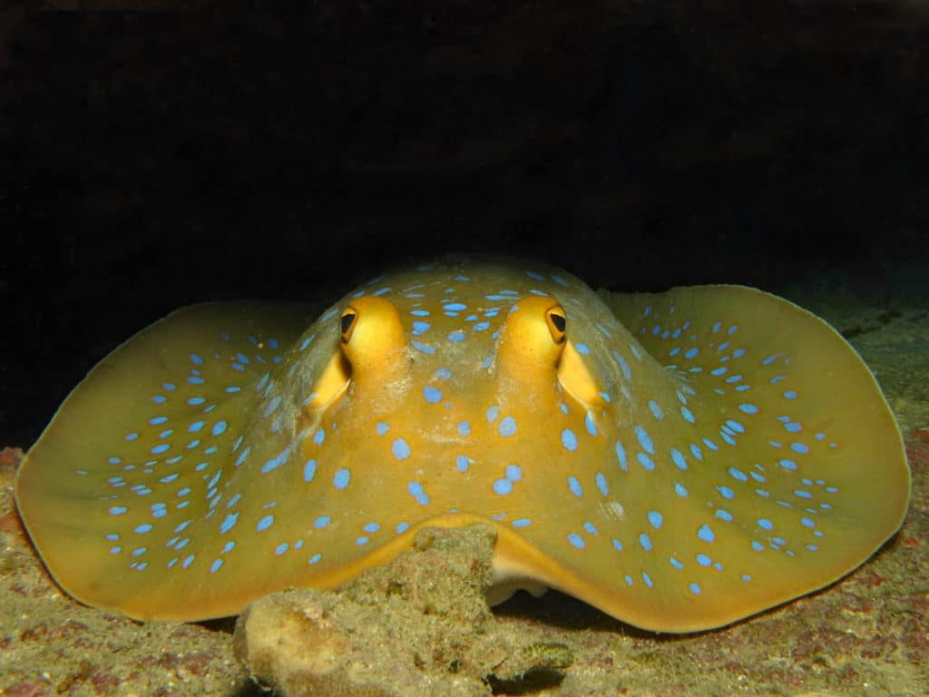 idckohtao.com-padi-digital-underwater-photography-instructor-specialty-stingray