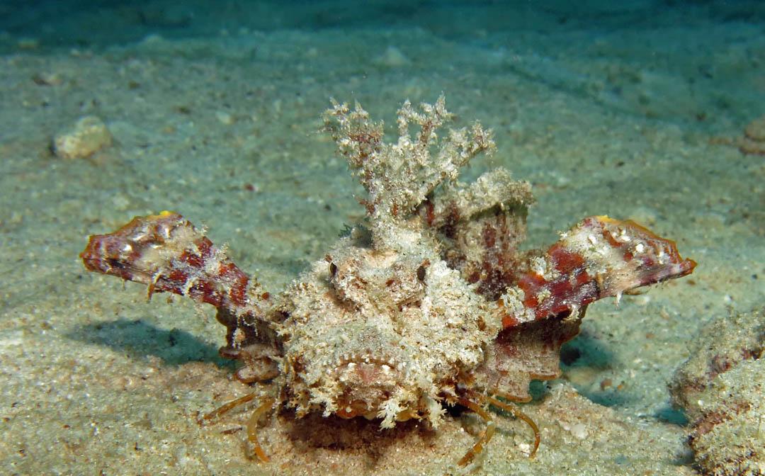 idckohtao.com-padi-digital-underwater-photography-instructor-specialty-stonefish-koh-tao