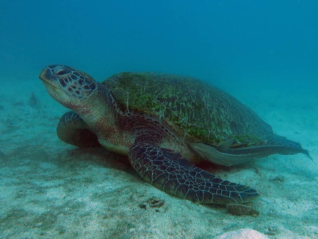 idckohtao.com-padi-digital-underwater-photography-instructor-specialty-turtle