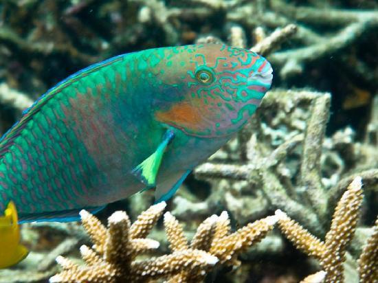 idckohtao.com-padi-fish-id-instructor-specialties-parrot-fish-kohtao