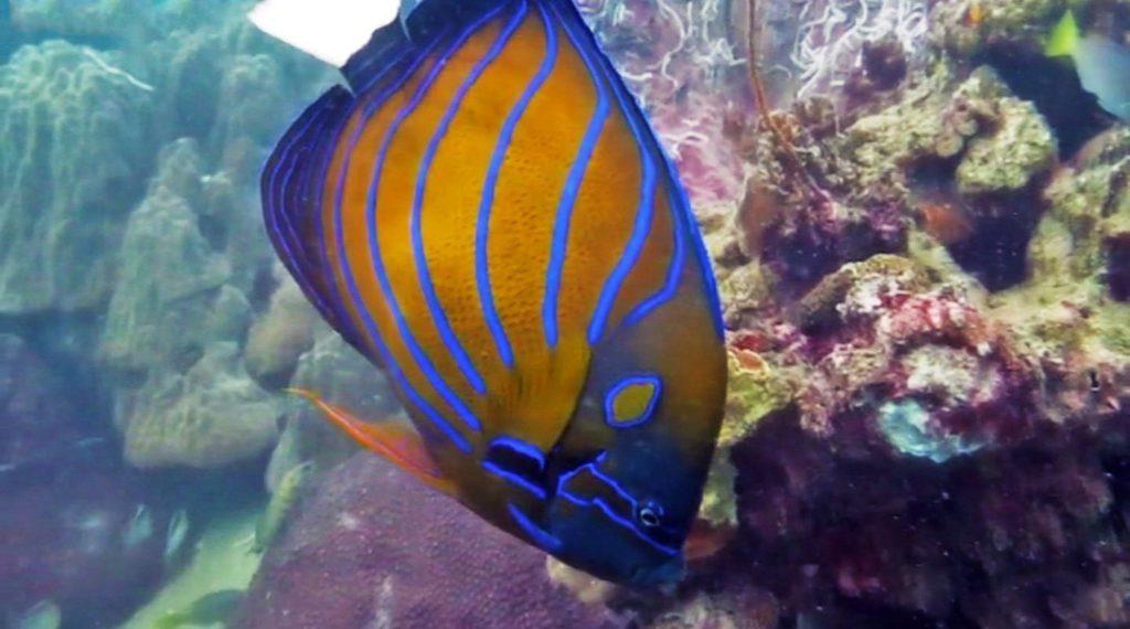 idckohtao.com-padi-fish-id-instructor-specialty-koh-tao-anglefish